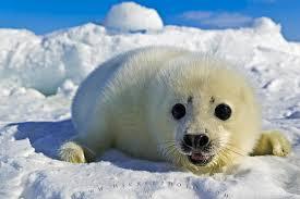 0011 Тюлень гренландский