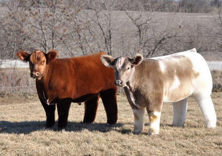 31 Плюшевые коровы