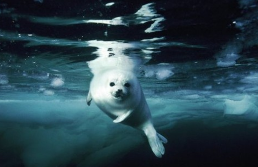 8 Тюлень гренландский