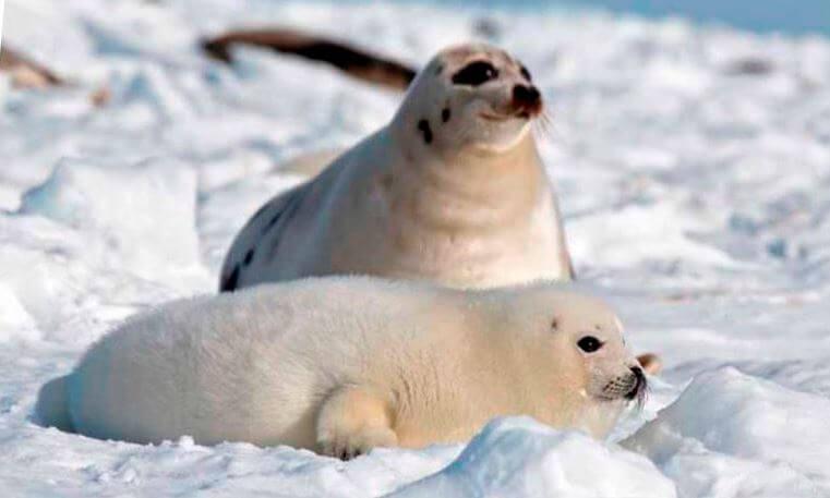 grenlandskiy tyulen belyok Тюлень гренландский