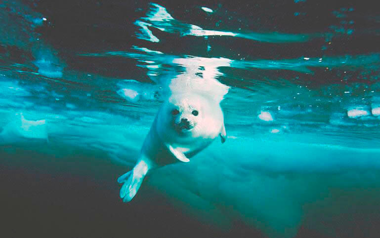 Подводная охота тюленя гренландского