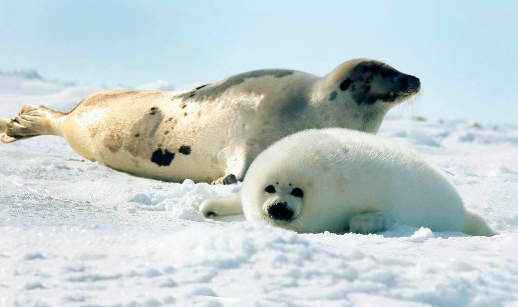 Самка тюленя гренландского