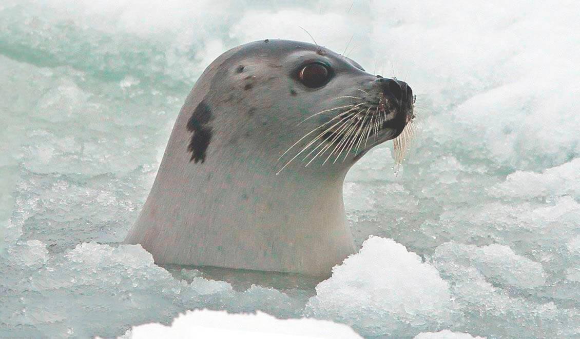 Тюлень гренландский фото
