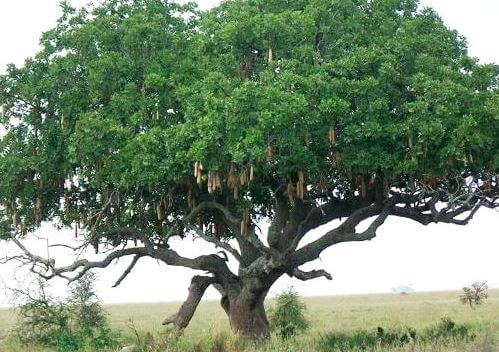kolbasnoe derevo v prirode 1 Колбасное дерево