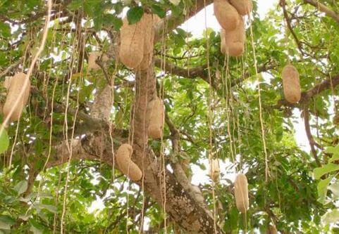 Фото плодов колбасного дерева