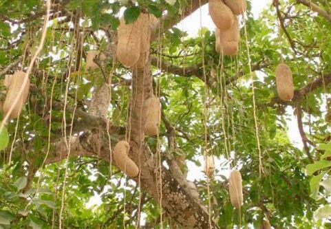 kolbasnoe derevo Колбасное дерево