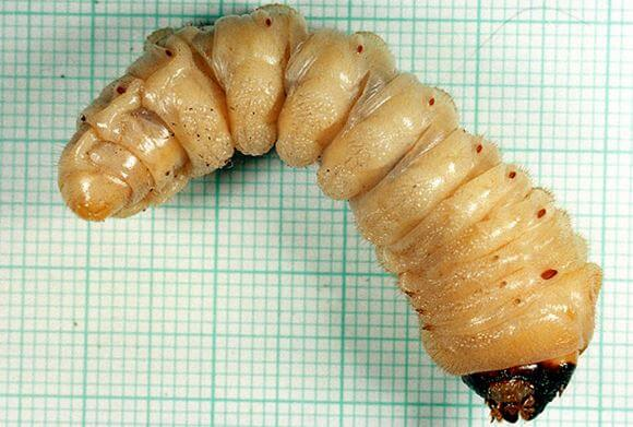 Личинка усача дубового большого