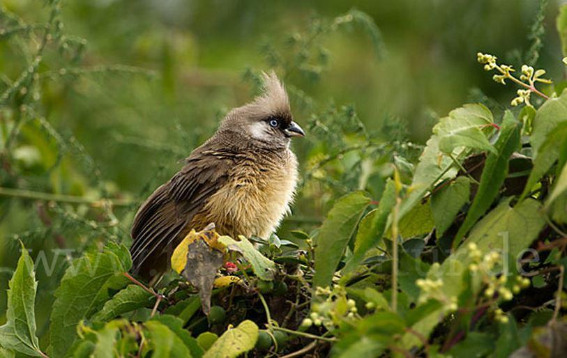 Птица мышь бурокрылая