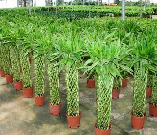 Фото бамбука декоративного