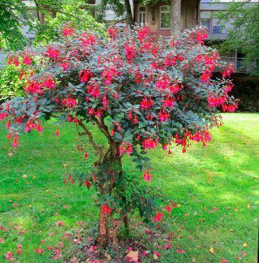 Фото деревца фуксии