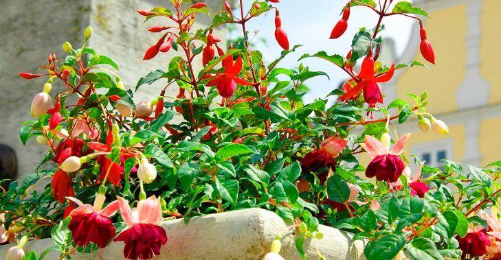 Фуксия с красными цветами