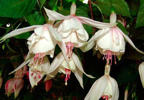 Фото кремового цветка фуксии
