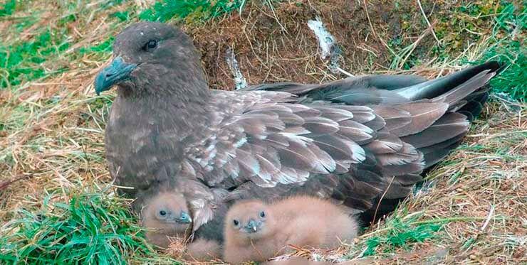 Гнездо большого поморника
