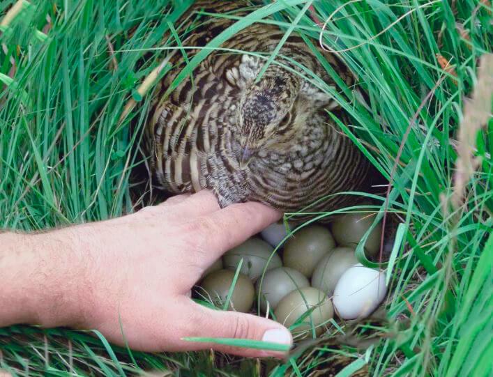 Гнездо луговых тетеревов