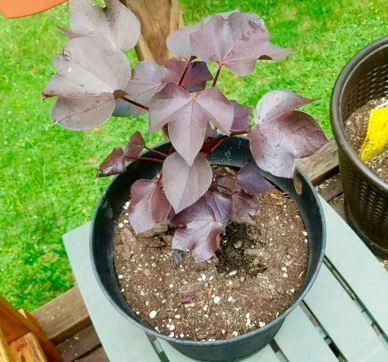 Выращивание хлопчатника в домашних условиях