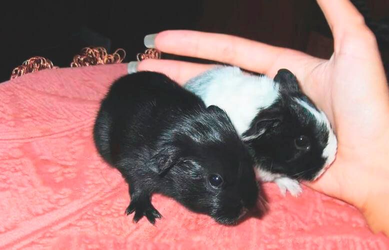 Малыши морской свинки Шелти