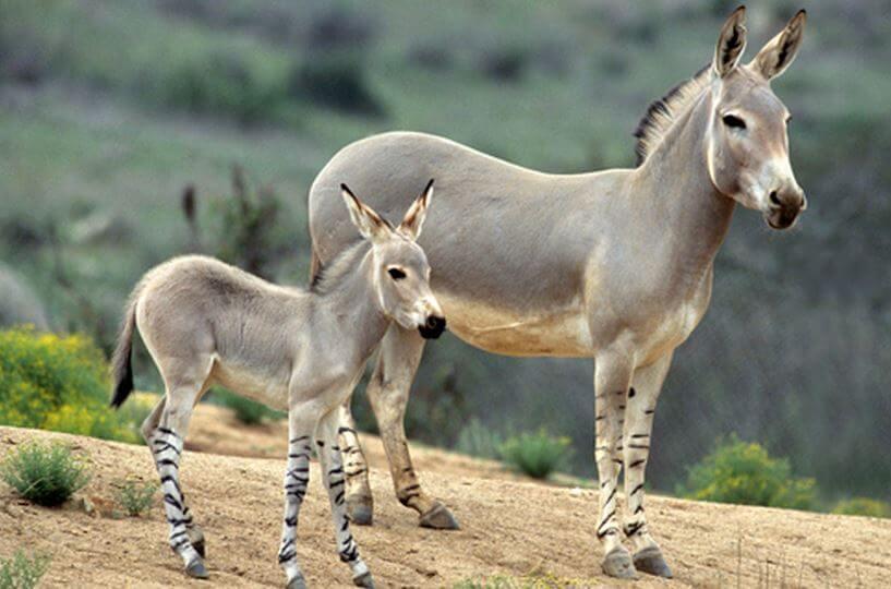 Самка осла сомалийского с детёнышем