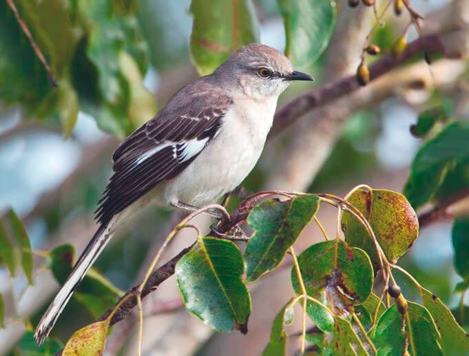 Пересмешник певчий североамериканский на дереве