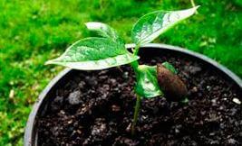 rostok hurmy Выращивание хурмы из косточки