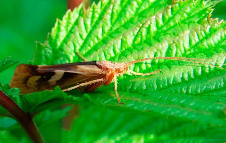 Ручейник лимнофил питается кусочками зелёных листьев
