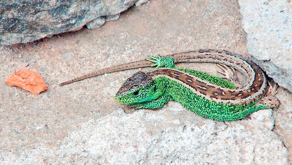 Картинка с прыткой ящерицей