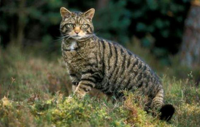 2217 Кот лесной