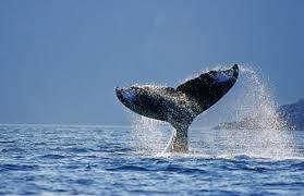 Хвост китагорбача