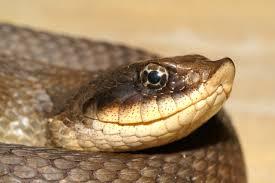 85 Широконосая восточная змея