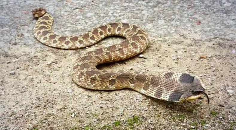86 Широконосая восточная змея