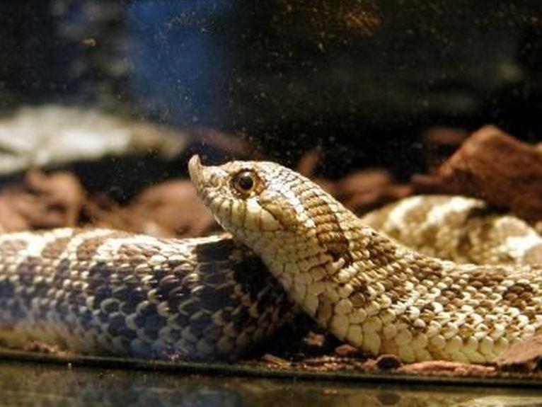 Широконосая восточная змея фото