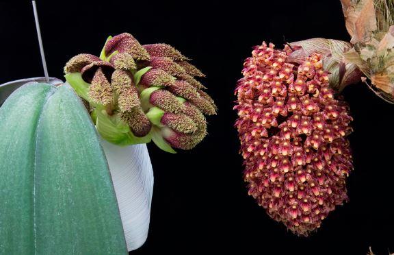 Фото Bulbophyllum beccarii