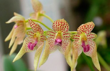 Орхидея бульбофиллюм