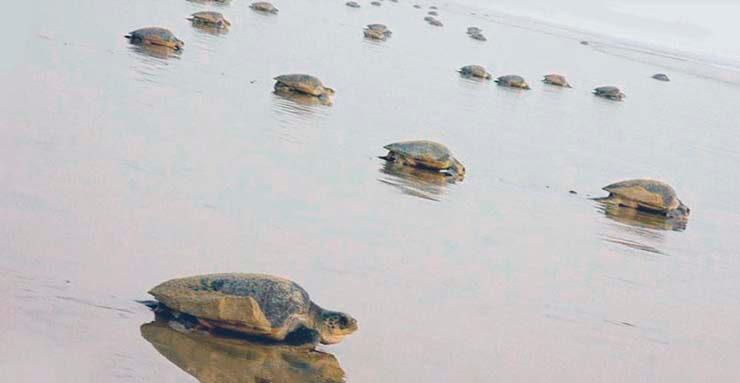 Черепахи идут на гнездовье