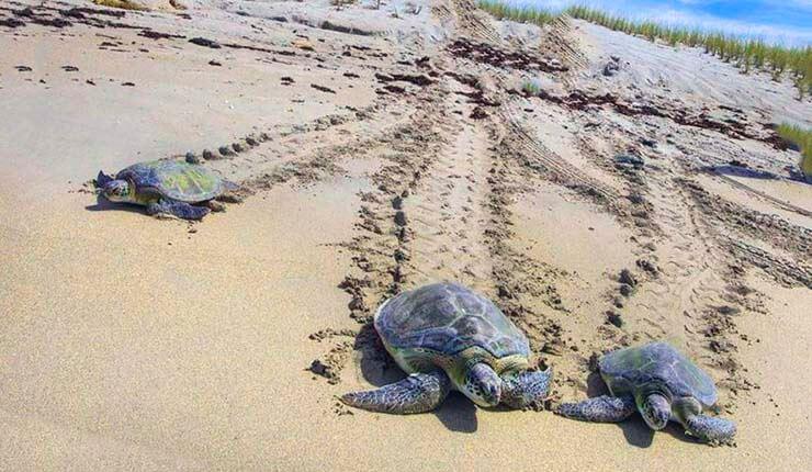 Раскрыта тайна морских черепах
