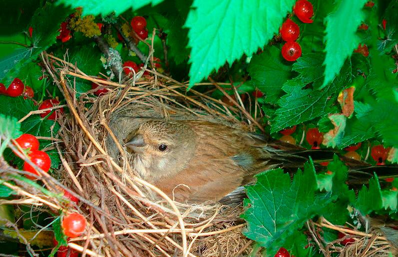 Гнездо коноплянки