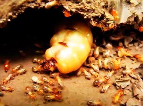 koroleva termita macrotermus bellicosus Термиты Macrotermus bellicosus
