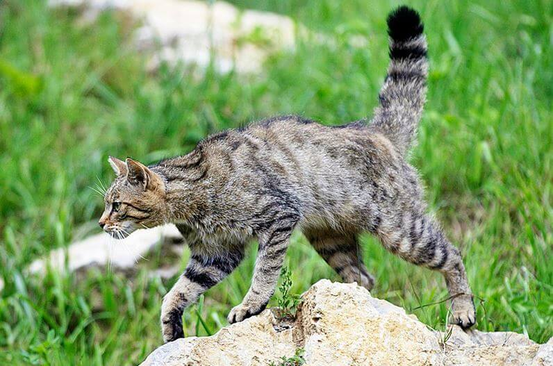 Прогулка кота лесного