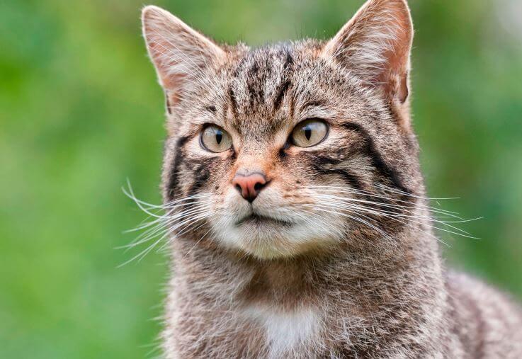 Кот лесной фото