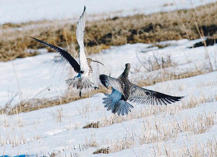 Зимний полёт кроншнепа большого