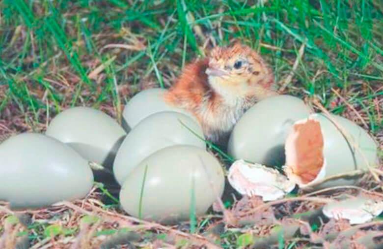 Гнездо куропатки серой