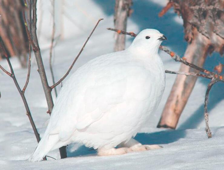 Куропатка белая в зимнем наряде