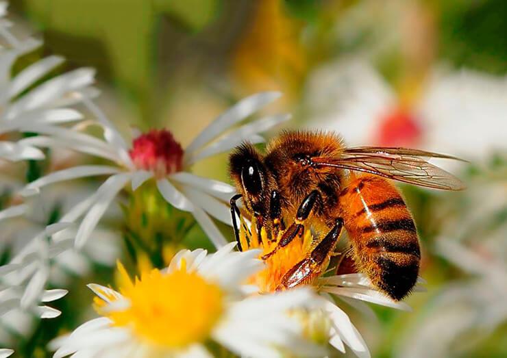 Медоносная пчела фото