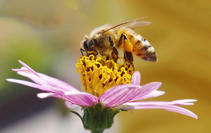 Фото пчелы медоносной