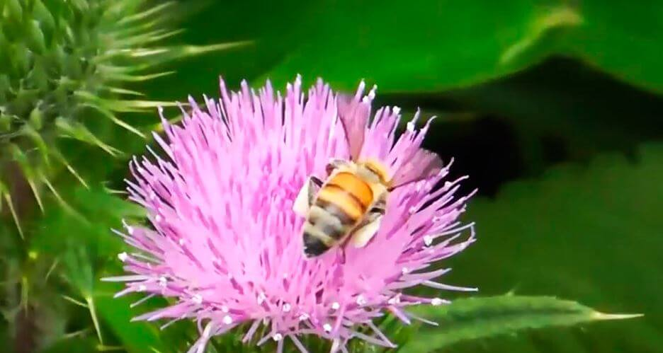Медоносная пчела за сбором пыльцы