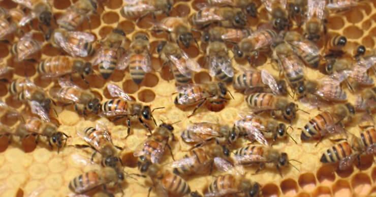 Фото медоносных пчел