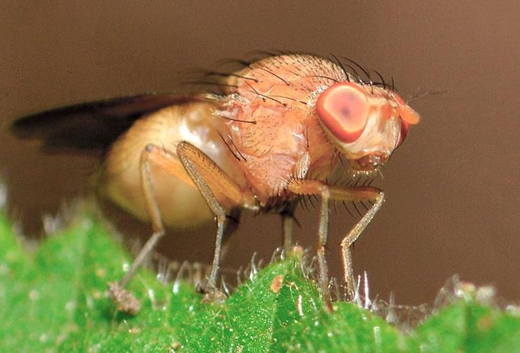 Drosophila melanogaster фото