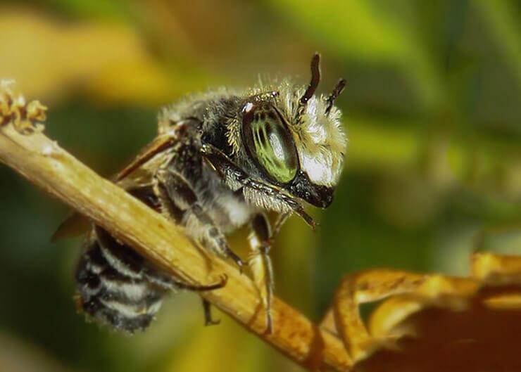Фото пчелы листореза