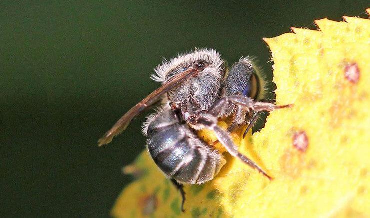 Пчела листорез фото