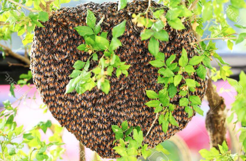 Рой медоносных пчёл