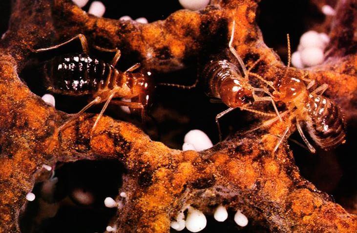Картинка с термитами Macrotermus bellicosus грибов